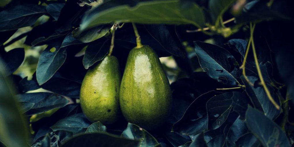 avocado contains higher amount of boron