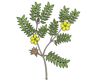 tribulus terrestris is good for male sexuality